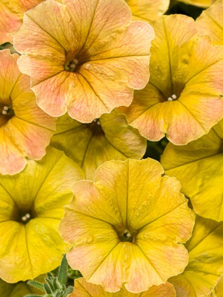 Petunia 'Supertunia Honey'