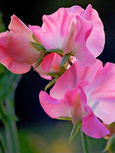 Lathyrus odoratus 'Mammoth Deep Rose' Old-Fashioned Sweet Pea