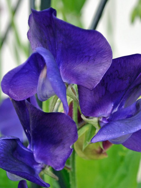 Lathyrus odoratus 'Mammoth Mid Blue' Old-Fashioned Sweet Pea