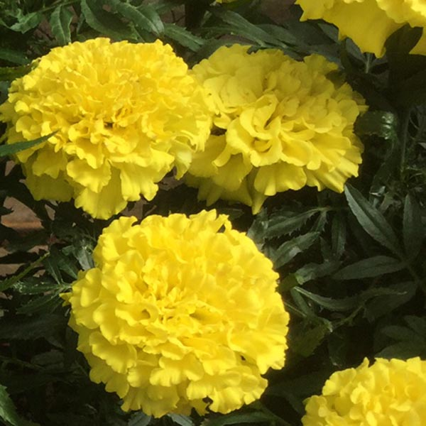 Tagetes erecta 'Proud Mari Yellow'