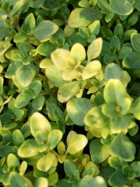 Thyme 'Golden' (Thymus vulgaris aureus)