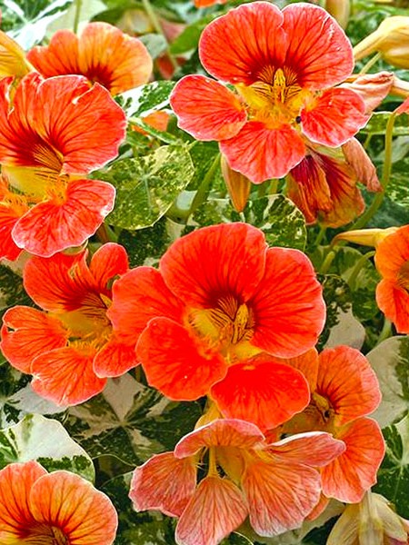 Tropaeolum majus 'Alaska Variegated Deep Orange'