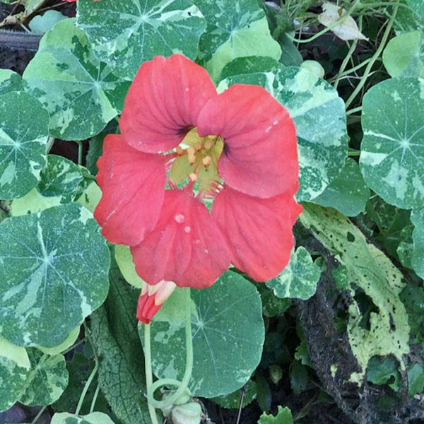 Tropaeolum majus 'Alaska Variegated Rose'