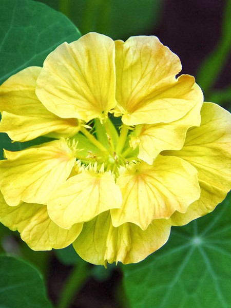 Tropaeolum majus 'Double Delight Cream'