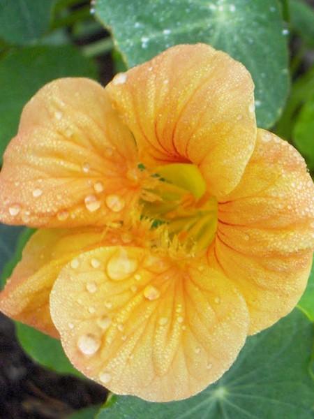 Tropaeolum majus 'Tip Top Apricot'