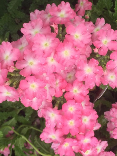 Verbena 'Pops Pink + Eye'