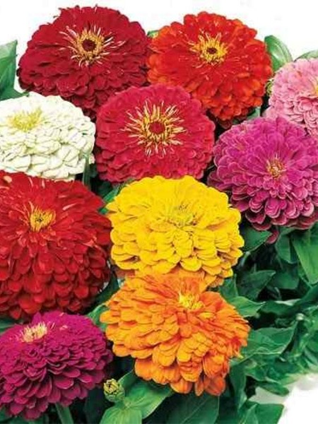 Zinnia elegans 'Yoga Mix'