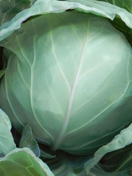 Cabbage 'Green Presto'