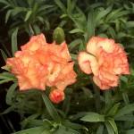 Dianthus 'Mel' (carnation)