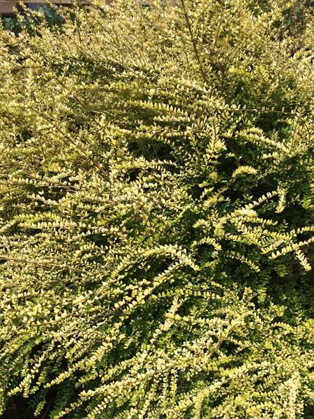 LONICERA cardinalis 'LONICERA 'Baggeson's Gold''s Gold'