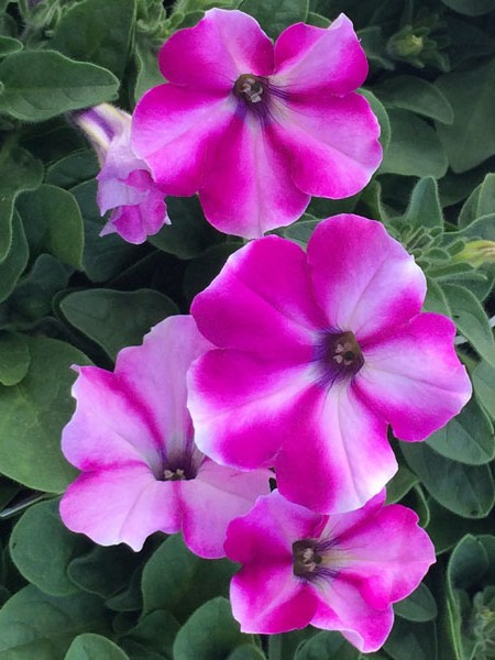 Petunia 'Headliner Raspberry Star'