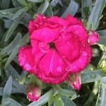 Dianthus 'Lani' (carnation)