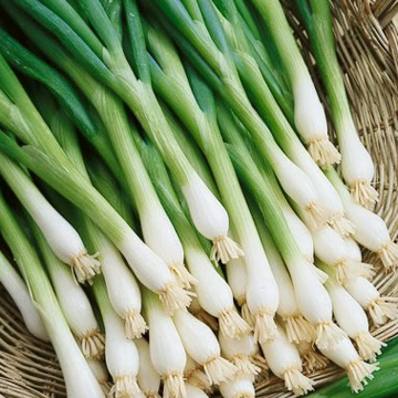 Onion 'Green Banner' bunching