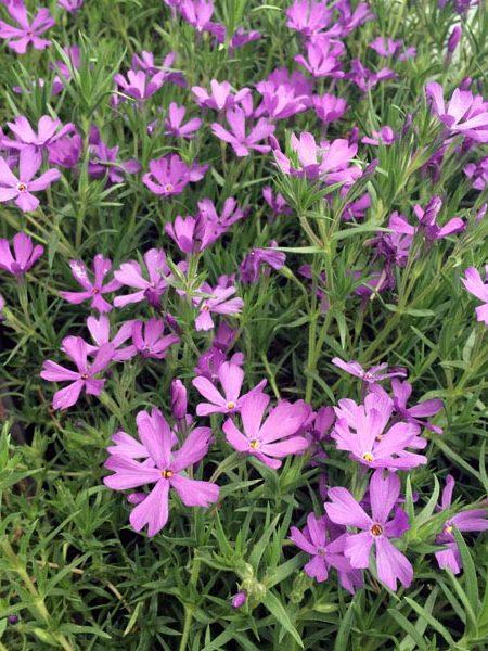 PHLOX hybrida 'Violet Pinwheels'