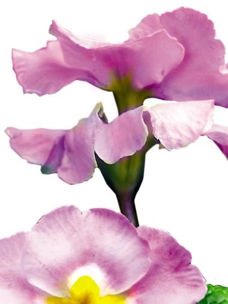 Primula tommassini 'YOU and ME™ Rose' (hose-in-hose primrose)