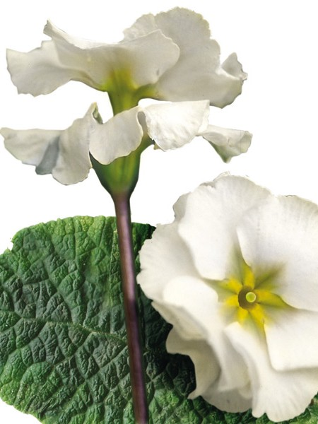 Primula tommassini 'YOU and ME™ White' (hose-in-hose primrose)