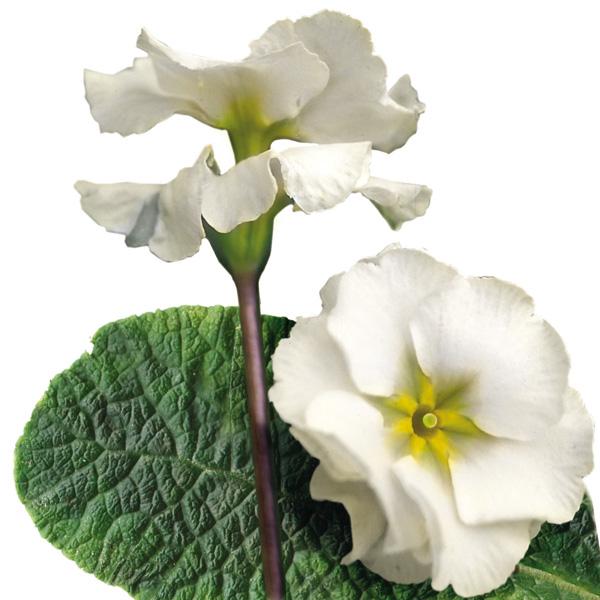 Primula tommassini 'YOU and ME™ White' (hose-in-hose primrose)