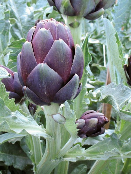 Artichoke 'Colorado Star'