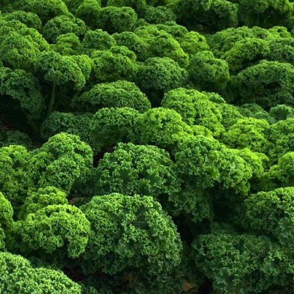 FW Kale 'Prizm' (AAS)