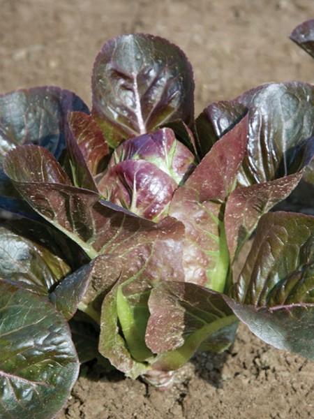 Lettuce 'Breen' Mini Head F&W