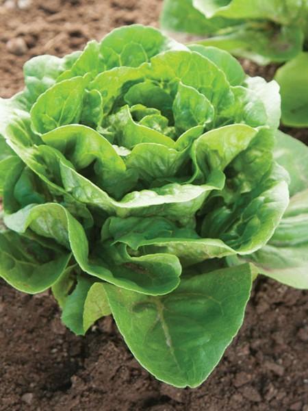 Lettuce 'Dragoon' Mini Head F&W