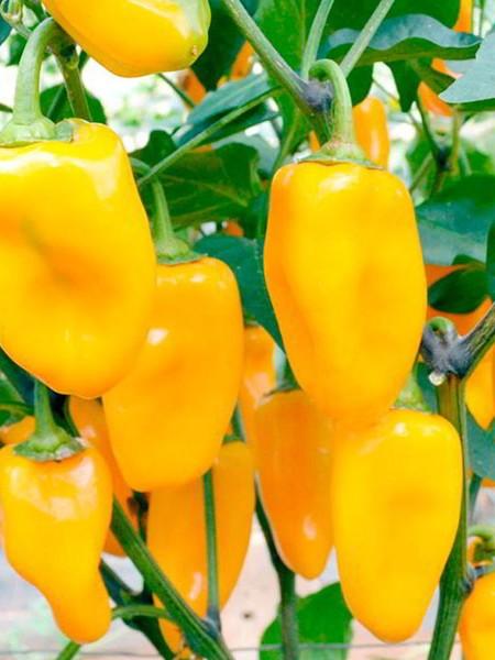 Pepper (sweet) 'Midas'