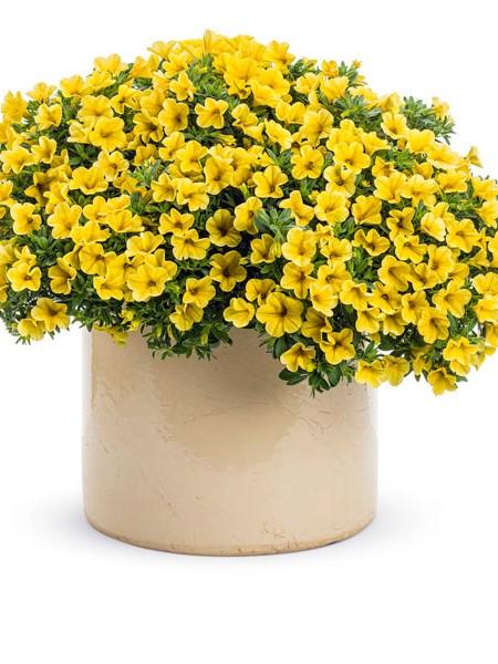 petunia-superbells-yellow-improved-web