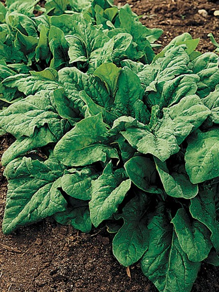 FW Spinach 'Renegade' F1