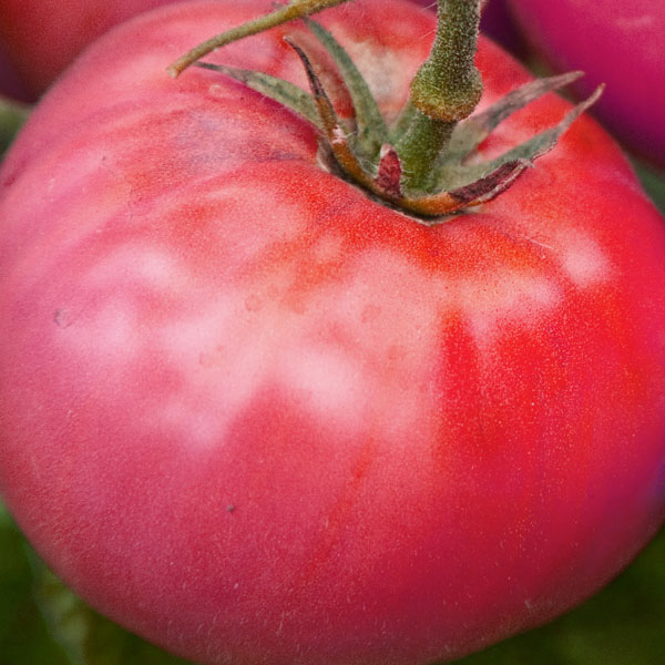 Tomato 'Brandywine Pink' Grafted Mighty 'Mato