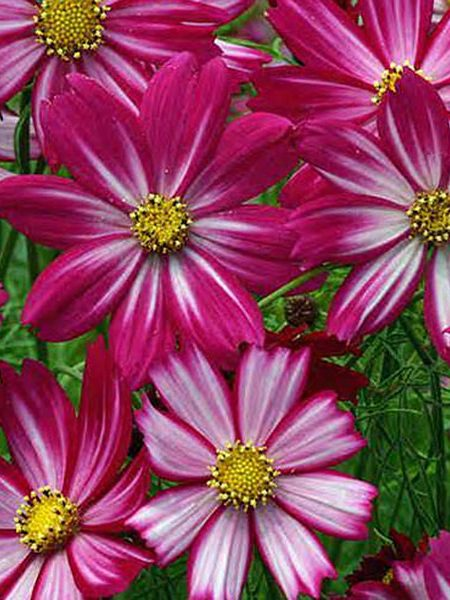 Cosmos bipinnatus 'Red Illusion'