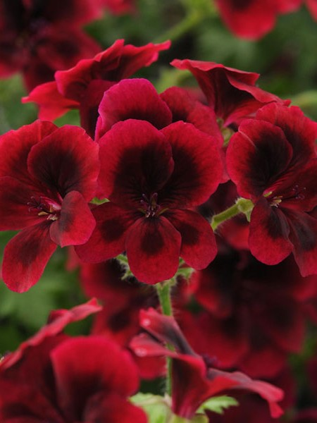 Regal Geranium 'Candy Flowers Dark Red'