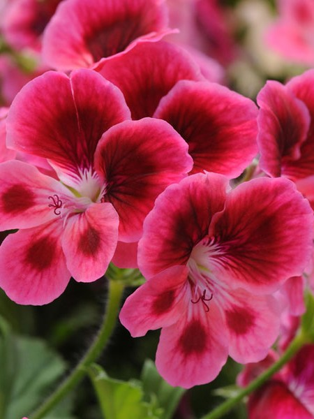 Regal Geranium 'Candy Flowers Pink Eye'