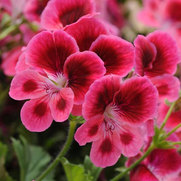 Regal Geranium 'Candy Flowers Pink Eye'