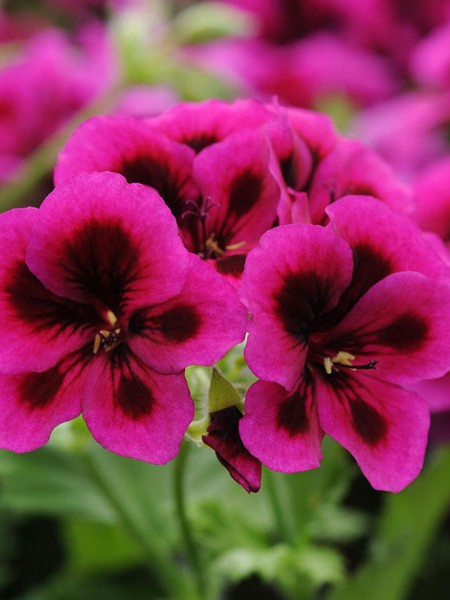 Regal Geranium 'Candy Flowers Violet'
