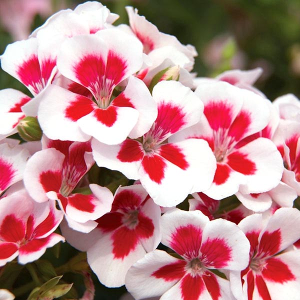 Regal Geranium 'Candy Flowers White'