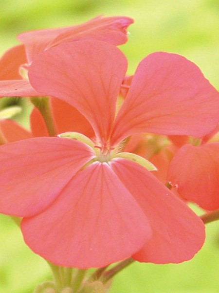 Fancy Zonal Geranium 'Crystal Palace Salmon'
