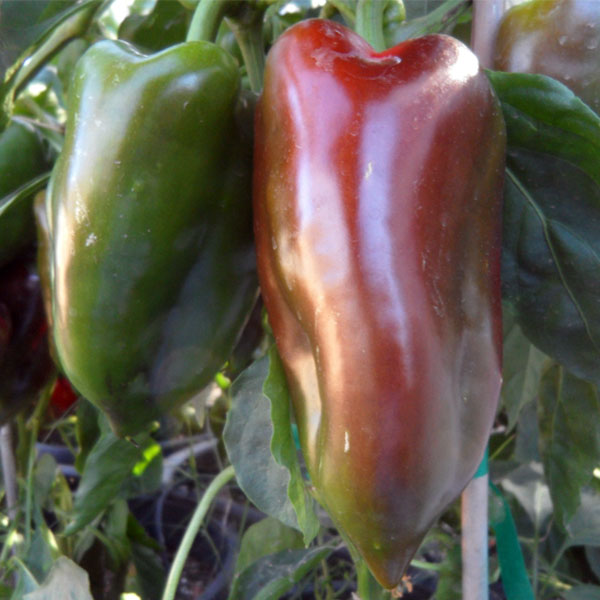 Pepper (Sweet) 'Elephant Ears' non-bell