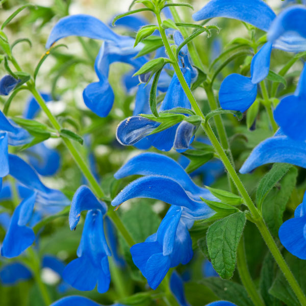 Salvia patens 'Patio Deep Blue'