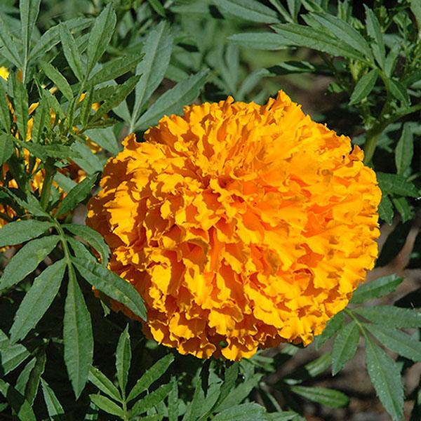 Tagetes erecta 'Bali Orange'