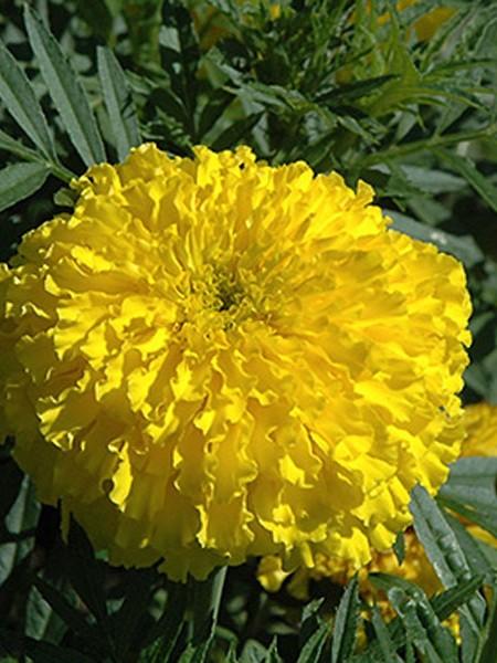 Tagetes erecta 'Bali Yellow'