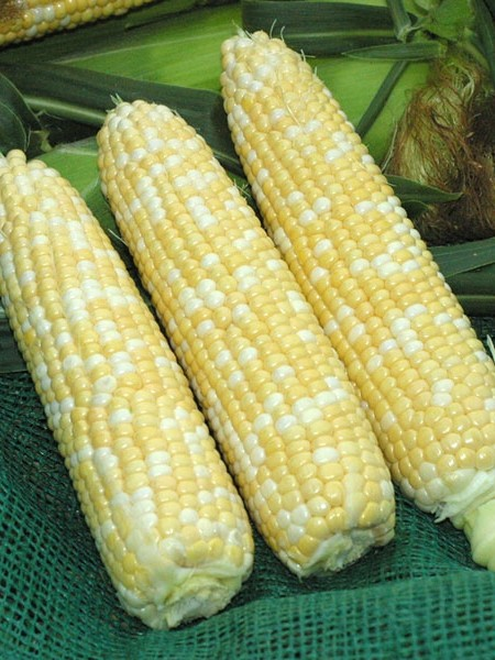 Corn 'Xtra Tender 20173'