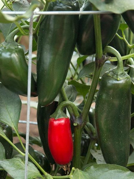 Pepper (Hot) 'Sriracha' Grafted Mighty Veggie