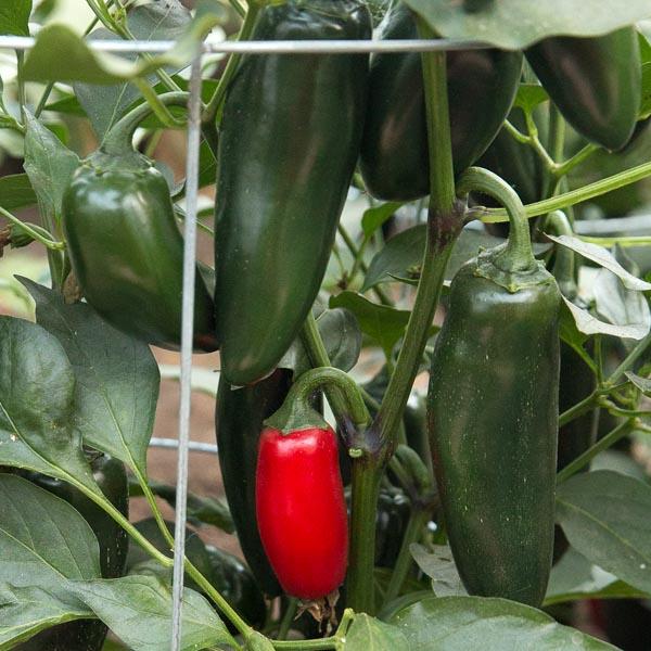 Pepper (Hot) 'Sriracha' Grafted Mighty Veggie