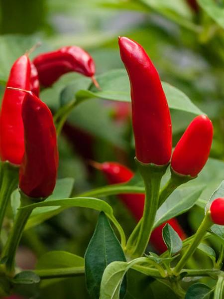 Pepper (Hot) 'Ascent' Thai pepper