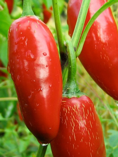 Pepper (Hot) 'Sriracha'
