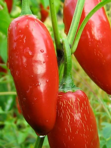 Pepper (Hot) 'Sriracha'