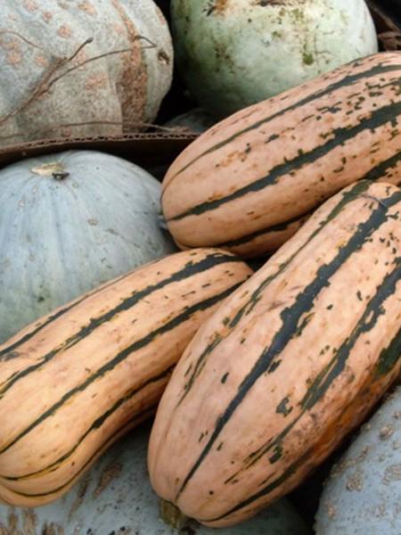 Squash (Winter) 'Candystick' Delicata