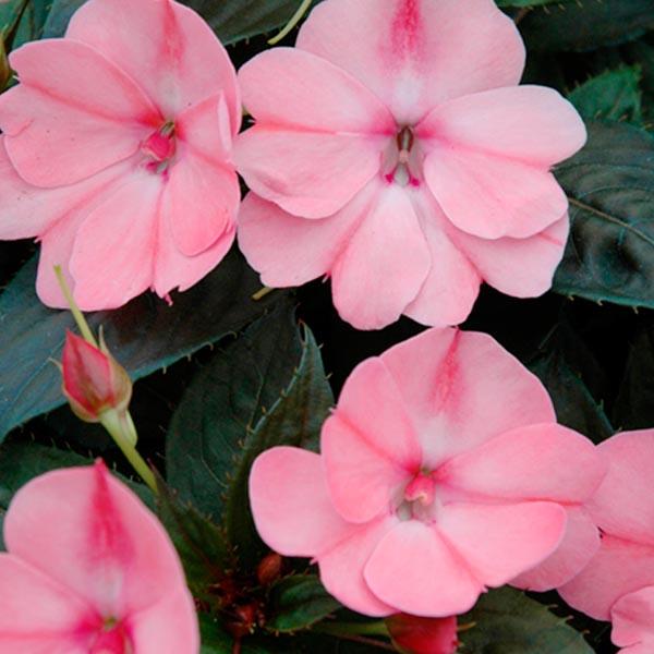 SunPatiens 'Blush Pink'