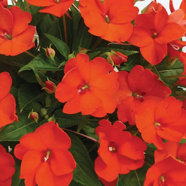 SunPatiens 'Electric Orange'