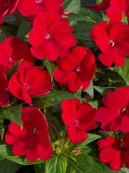 SunPatiens 'Fire Red'